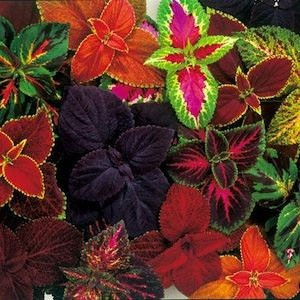 1040 Coleus Rainbow mixed