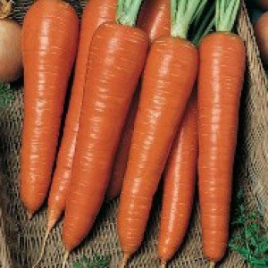 1550 Carrot Danvers Half Long (Heirloom)