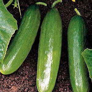 1595 Cucumbers Burpless Beauty