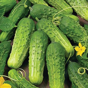 1610 Cucumbers Picklebush (Bush, Pickling)