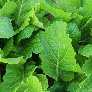 2155 Korean Mustard Green Leaf