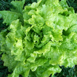 1650 Lettuce Black-Seeded Simpson (Heirloom)