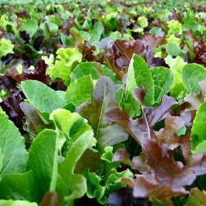 1660 Mesclun Sweet Salad Mix