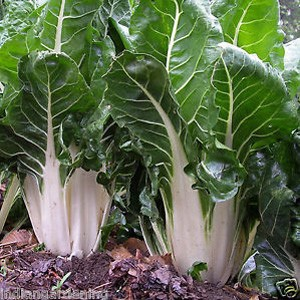 1830 Swiss chard Fordhook Giant