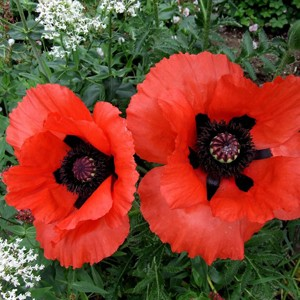 1222 Poppy Brilliant Red