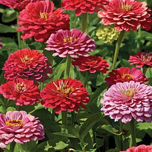 1313 Zinnia Exquisite