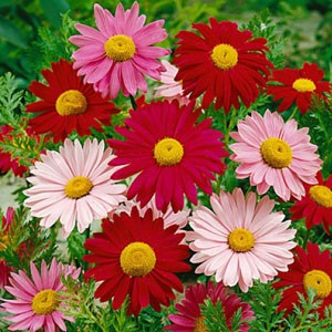 1366 Daisy Painted Giant Mixed Colors