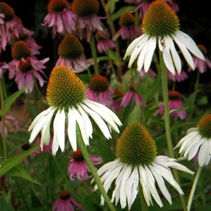 1399 Echinacea Purple&coneflower Mix