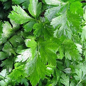 3076 Parsley Gigante D'Italia