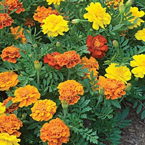 1132 Marigold Happy Days Mix