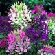 1015 Cleome Queen Mix