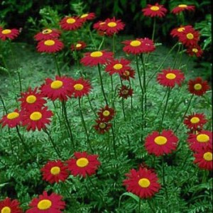 1030 Chrysanthemum Robinson Red