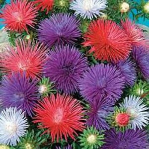 1010 Asters Sea Star Mix
