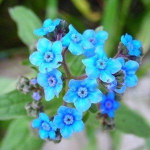 1080 Forget-me-not Chinese Forget-Me-not Firmanet