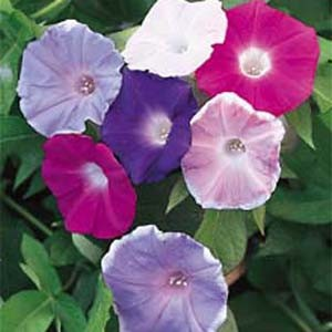 1175 Morning Glory Early Call Mix