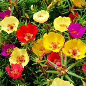 1225 Portulaca Magic Carpet Mixed Colors