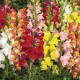 1260 Snapdragon Fordhook Tall mix