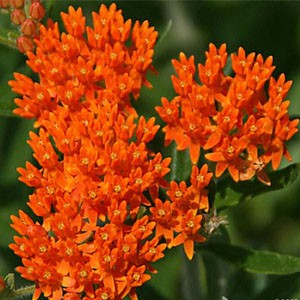 1322 Butterfly Weed Asclepias