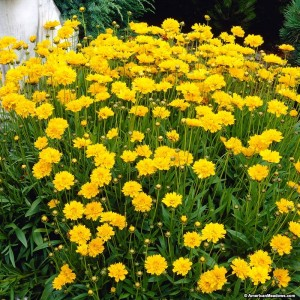 1325 Coreopsis Early sunrise