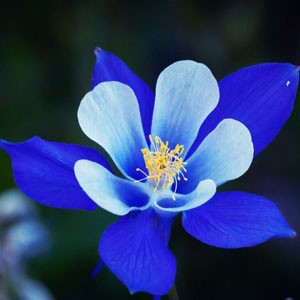 1330 Columbines Blue Star