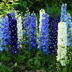 1372 Delphinium Giant Pacific Mix